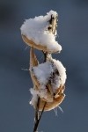 Milkweed in Snow