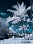 Palms in Infrared