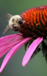 Bee on Echinacea Macro