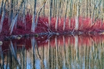 Dogwood Reflections