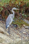 Great Grey Heron