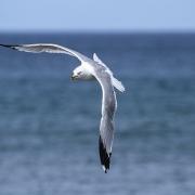 Black Tipped Gull