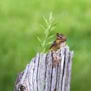 Chipmunk on Cedar Rail