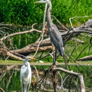 Great Egret and Great Grey Heron