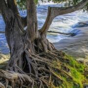 Sauble Cedars