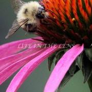 Bee On Echinacea Zoom